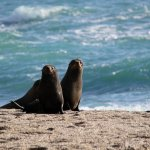 Visit a New Zealand fur seal colony
