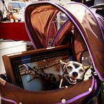 Dogs in prams - lots of cute dogs at the markets