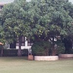 lawn area, there are lots of mango trees