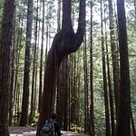 Interesting Tree through the Wallace Falls trail
