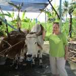 Sugar cane pressing demonstration with oxen