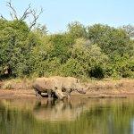 Rinocerontes en libertad