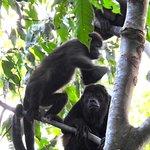 Howler mokeys in the trees on ELV property