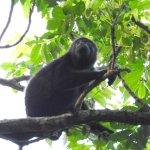 Howler monkey on ELV property