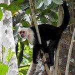 Capuchin monkey near ELV property