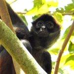 Spider monkey in tree next to ELV yoga deck