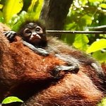 Spider monkey and baby near ELV property