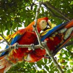 Scarlet macaw couple, preening, near ELV property