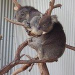 Koalas...