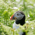 Up close and personal with the puffins.