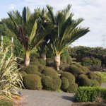 Nikau palms and sheared New Zealand shrubs for landscaping