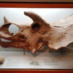 Museum Exhibit - Triceratops Skull and Dinosaur Egg