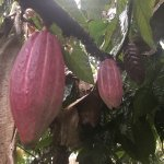 Photo of Rainforest Chocolate Tour