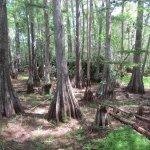 Cypress strand