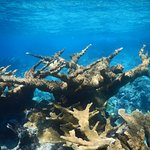 Large and beautiful Elkhorn corals