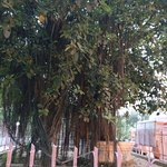 5000 years old banyan tree