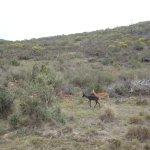 Impala - Springbok