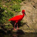The Scarlet Ibis - such a striking bird