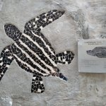 the extinct leatherback turtle at terengganu beach, info at turtle alley