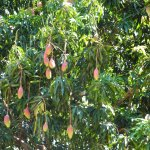 The mango tree that provide the fruit for our delicious mango pie!