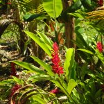 red ginger blooms- there is pink ginger on the property as well!