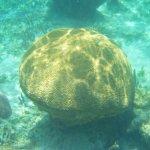 HUGE brain coral the size of a massive boulder!