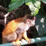 We had a marvelous afternoon watching the wild Squirrel Monkeys playing around the hotel.