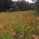 Field of Indian Blanket or Fire Wheel Wild flowers at the trailhead leading down to Hamilton Poo