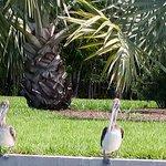 pelicans along seawall