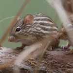 Striped mouse