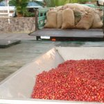 Incoming Coffee Cherry for Wet Milling