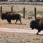 Buffalo/Bison grazing by the Sandia resort & Casino.......
