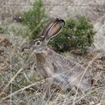 Jack Rabbit on the grounds of Bear Mt Lodge