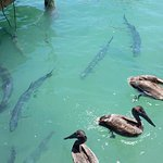 Pelicans hanging with the Tarpon