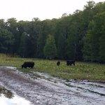 Feral cows