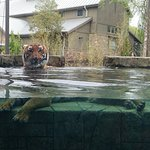 It was nice to see the tiger lay down in the water!