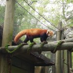 The red panda was so close!