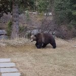 Grizzly bear saying hi