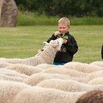 Visit the Sheep in Fort Saskatchewan