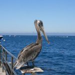 Pelican sitting on the pier upon arrival at Catalina