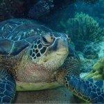 Turtle on Apo Island, marine sanctuary