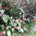Beautiful anthrium flowers growing wild in the garden.