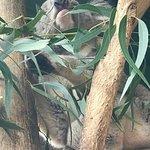Koala busy eating