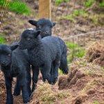 Black Lamb at Tayto Park