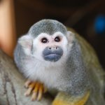 Squirrel Monkey at Tayto Park