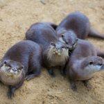 Otters at Tayto Park