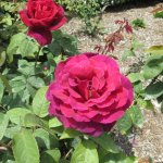 From the rose garden - just one variety of many.