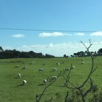 Sheep in view from the van ride!
