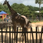 The outdoor eating area of the cafe is right next to the giraffe enclosure.