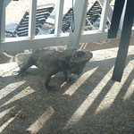 Iguana on patio of 5116